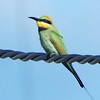 In striking contrast to the cryptic scrubfowl, here's a Rainbow Bee-eater. Photo by guide Jay VanderGaast.