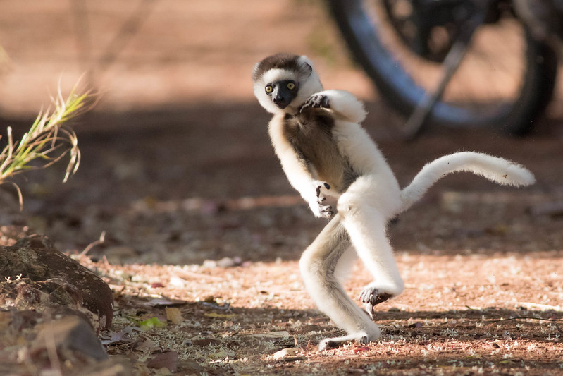 Even Verreaux's Sifakas are getting into the mixed martial arts craze. Photo by guide Doug Gochfeld.