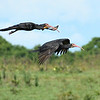 Participant Tom Hammond caught this pair of Sharp-tailed Ibis gliding by.