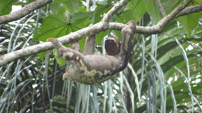 1,2,3...Yep, it's a Three-toed Sloth. Photo by guide Micah Riegner.