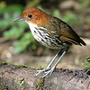 You can't beat the look we had at Chestnut-crowned Antpitta. Photo by participant Steve Parrish.