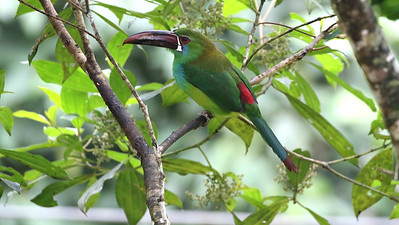 Take away the bill and rump of a Crimson-rumped Toucanet and it simply disappears in the foliage. Photo by participant Steve Parrish.