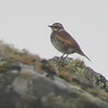 Searching for Asian vagrants is a major focus of birding on St. Paul Island, so we were tickled when this Dusky Thrush showed up. Photo by participant Nancy Buck.