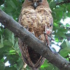 This Pel's Fishing-Owl has the remains of last night's dinner clutched in its massive talons. Photo by participant Barbara Williams.