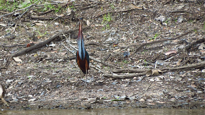 It takes a head-on look like this to truly appreciate how narrow the skull and bill are on an Agami Heron. Photo by guide Micah Riegner.