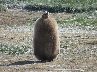 This King Penguin chick is doing its best fluffy fire hydrant imitation. Photo by participant Craig Caldwell.