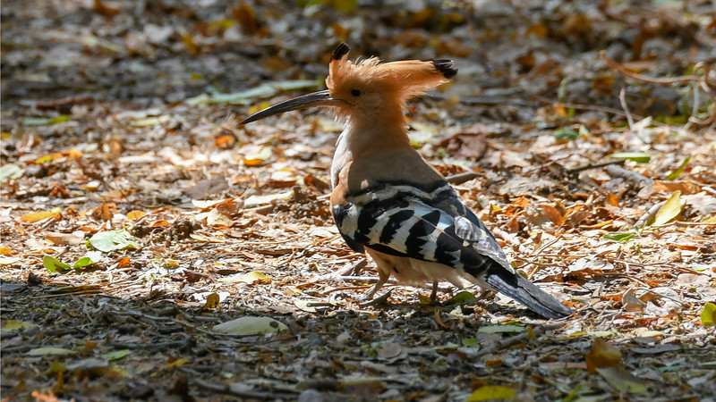 Participant Sid England snapped this wonderful portrait of a Madagascar Hoopoe.