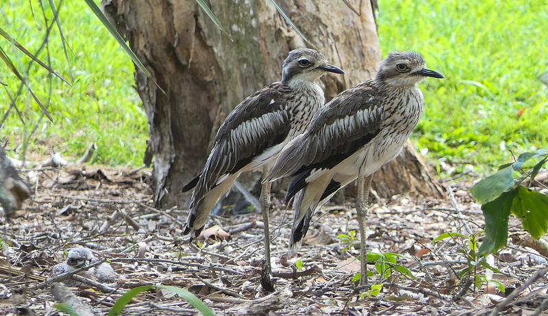 Can you spot the Bush Thick-knee chick behind its parents on the ground? Photo by participant Randy Siebert.