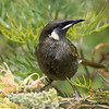 Participant Linda Rudolph shared this marvelous portrait of a Lewin's Honeyeater.