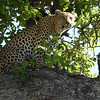 Leopards readily climb trees to avoid the unwanted attention of Lions.  Photo by guide Terry Stevenson.
