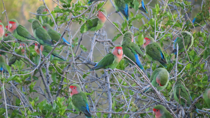 The cute factor runs pretty high with Rosy-faced Lovebirds. Photo by participant Barbara Williams.