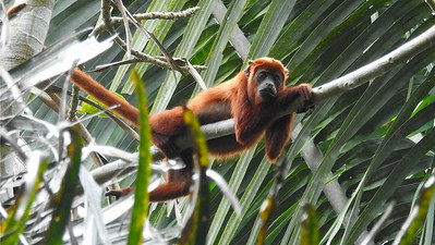 Life looks pretty easy for this Red Howler Monkey. Photo by guide Jesse Fagan.