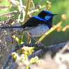 A Superb Fairywren is, well...superb. The name says it all. Photo by participant Randy Siebert.