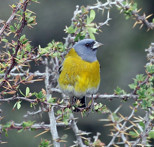 The handsome Gray-hooded Sierra-Finch is in a genus that seems likely to be split up with further research. Photo by participant Bill Byers.