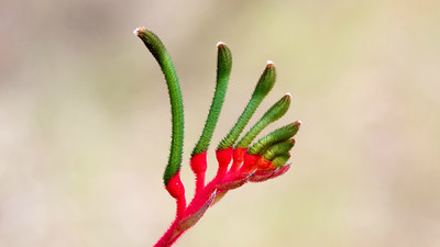 The bizarre but beautiful Kangaroo Paw, Anigozanthos manglesii, is an Australian flower with a velvety look. Photo by participant Linda Rudolph.
