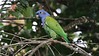The wide-ranging, adaptable, and unmistakable Blue-headed Parrot. Photo by participant Steve Parrish.