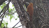 Great Rufous Woodcreeper is one of those spot-on bird names. Photo by guide Jesse Fagan.