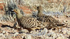 This pair of Namaqua  Sandgrouse gave us a great look. The plain-headed male is in the foreground. Photo by participant Sally Marrone.