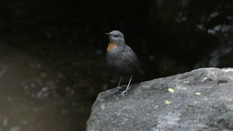 Rufous-throated Dipper is by far the most range-restricted of the five dipper species in the world, occurring only in NW Argentina and SW Bolivia. Photo by guide Jesse Fagan.