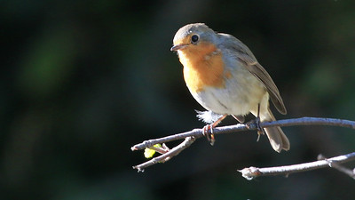 The delightful little European Robin (an Old World Flycatcher) is unrelated to American Robin (Thrush family). Photo by guide Dave Stejskal.
