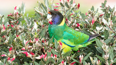 Australia is richly endowed with Psittaculidae (Old World Parrots). This stunning Australian Ringneck (or Port Lincoln Parrot) was another of many species we saw. Photo by participant Linda Rudolph.