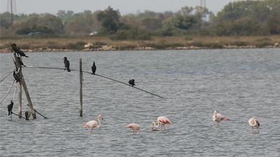 We move north into Europe with images by guide Dave Stejskal from one of our France trips, where Greater Flamingo is the iconic species of the Camargue.