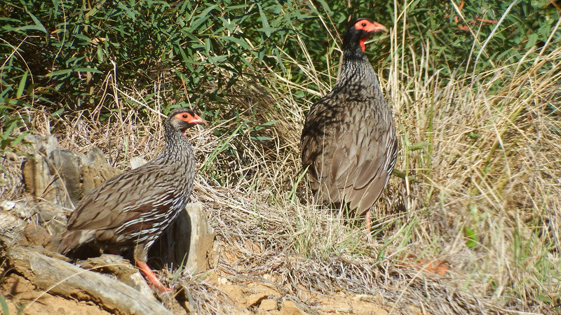 A Red-necked Francolin pair, photographed by participant Sally Marrone.