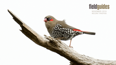 We begin our November Recent Photos gallery with images from Part One of our Australia tour. Few birds showcase spotting and vermiculation as well as this Red-eared Firetail by participant Linda Rudolph.