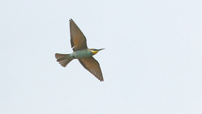 One of the most colorful species during the Camargue portion of our tours was European Bee-eater. Photo by guide Dave Stejskal.