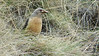 This Drakensberg Rockjumper has a mouthful for young nearby. Photo by participant Sally Marrone.