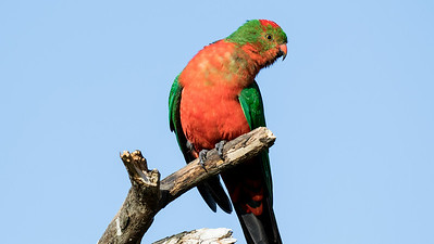 Australian King-Parrot is a king-sized species. This molting bird was also photographed by participant Linda Rudolph.
