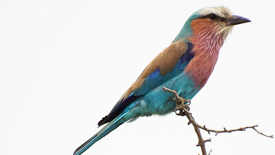 Sailing across the Indian Ocean from Australia to Africa, with this next set of images we highlight our recent South Africa tour. Lilac-breasted Roller is one of the most recognizable and beautiful species on the continent. Photo by participant Sally Marrone.