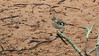 The handsome Bearded Scrub-Robin is widespread in the southeastern part of the African continent. Photo by participant Sally Marrone.