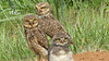 There is something comical about Burrowing Owls. That's a youngster in front. Photo by participant Kiran Marthak.