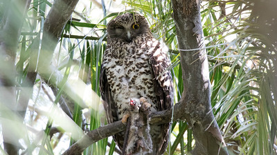 Check out the massive talons on this roosting Powerful Owl, also photographed by Linda. Looks like it's not about to let go of its leftovers.