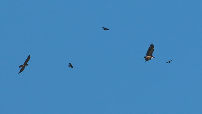 It pays to keep one eye on the sky in the Pyrenees. A Lammergeier to the left and a Eurasian Griffon dwarf several choughs. Photo by guide Dave Stejskal.