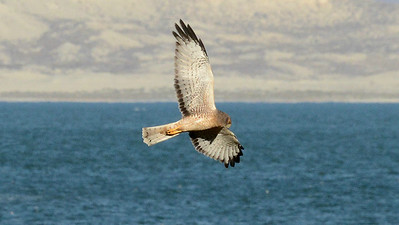 Participant Bill Telfair captured this fantastic image of a Northern Harrier with an atypical water background.