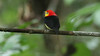 Participant Steve Parrish positioned himself just right for a great view and photograph of the distinctive tail plumes of this Wire-tailed Manakin.