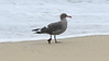 A classic coastal California species: Heerman's Gull. Photo by participant Bill Telfair.