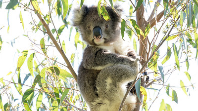 A trip to Australia would seem incomplete without a Koala sighting. Photo by participant Linda Rudolph.
