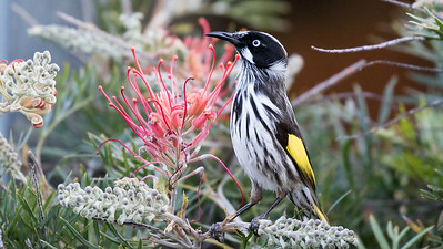 Brilliant New Holland Honeyeaters are remarkably responsive to squeaking. Photo by participant Linda Rudolph.