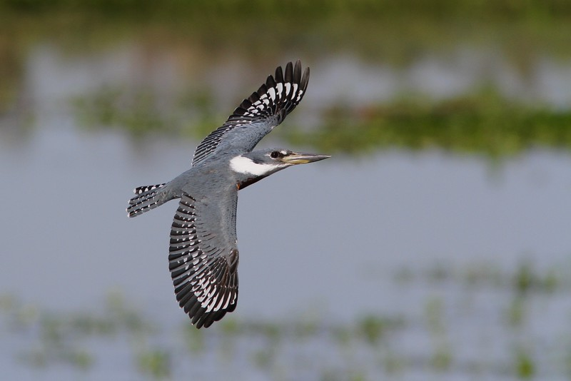 Guide Marcelo Padua really captured this Ringed Kingfisher in flight.
