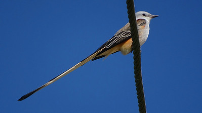 One of the prettiest birds we came across was this lovely Scissor-tailed Flycatcher. Photo by guide Dan Lane.