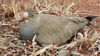 We were lucky enough to find a nesting Senegal Lapwing. Photo by participant Sally Marrone.