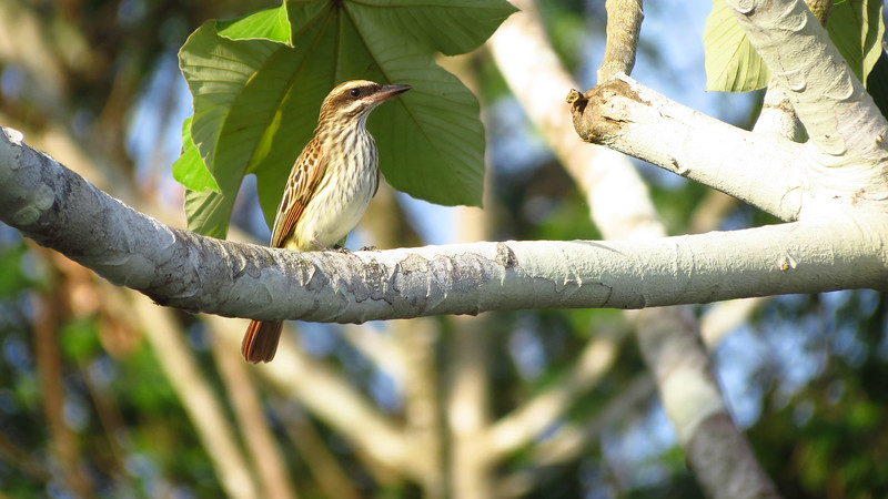 "This is the pale form nicknamed ""Island"" Streaked Flycatcher that could be a species-level taxon. This individual perched in full sunlight about 5 meters away from us. Photo by guide Micah Riegner."