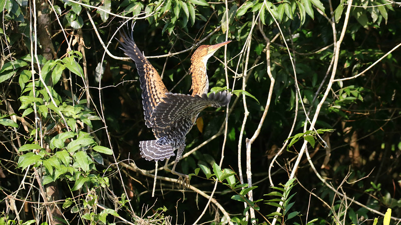 Immature Rufescent Tiger-Herons take barring to the next level. Photo by participant Larry Peavler.