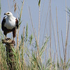 This majestic African Fish-Eagle found a solid perch among the reeds. Photo by guide Terry Stevenson.