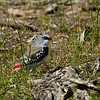 A Diamond Firetail lives up to its fancy moniker. Photo by participant Cliff Hensel.