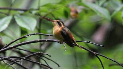 Hermits are lekking hummingbirds of the understory. Here's a female Reddish Hermit by guide Mitch Lysinger.