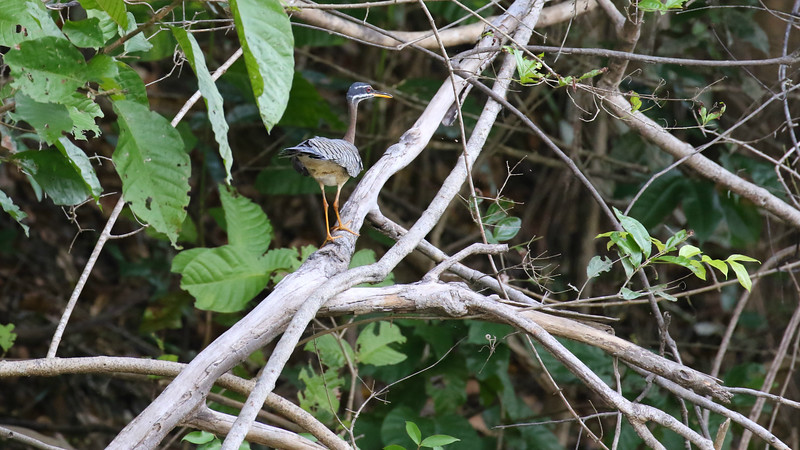 Sunbitterns can often be found balancing on streamside branches. Photo by participant Larry Peavler.